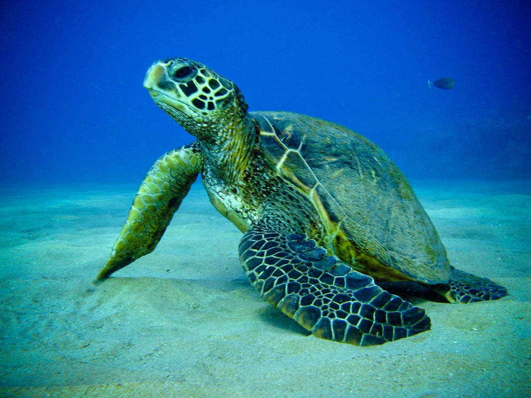 Sea Turtle Tobago Cays Grenadines