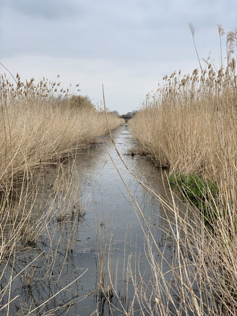 A reed bed canal stretching towards a bridge