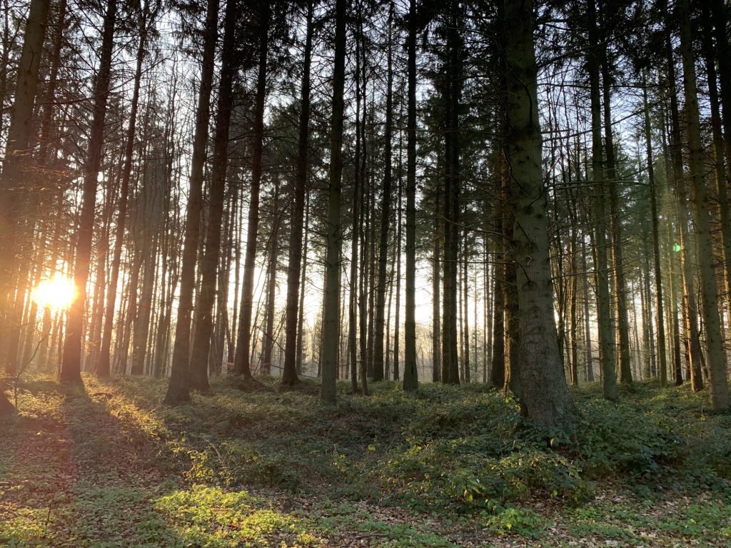 Sunlight streaming through a forest of pine trees