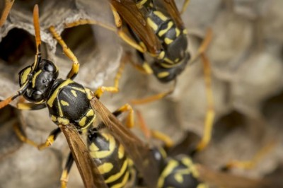 Norfolk Builder Discovers Giant Wasps' Nest