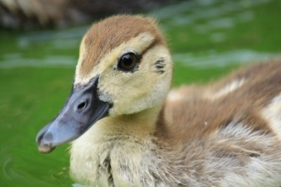 Builder Braves Storm Drain to Rescue Trapped Ducklings