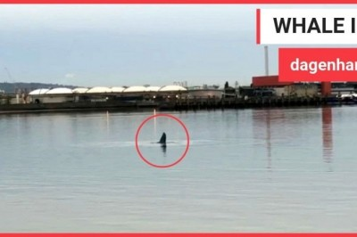 Humpback whale spotted in Thames has died