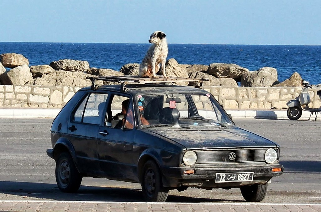 dog roof car