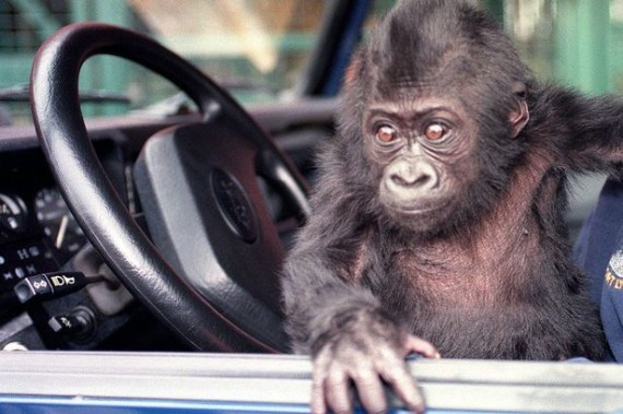 gorilla in car