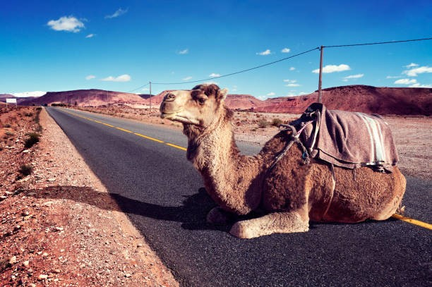 ride camel on road